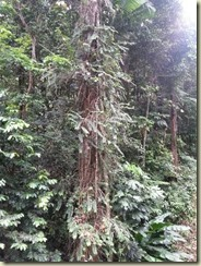 20151228_gommier tree tallest in rain forest (Small)