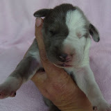 Blue & white female @ 1 week/Lindy