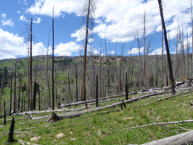 Very sparse post-fire tree regeneration following the Beaver Creek Fire (near Yellowstone National Park in 2000), which was followed by three years of severe drought. This photo was taken far from the edge of a stand-replacing burn patch – away from surviving seed sources. Photo: Brian Harvey