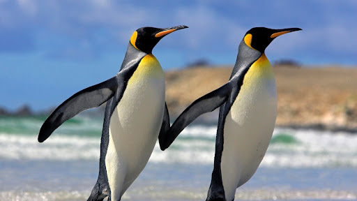 Buddy System, King Penguins, Falkland Islands.jpg