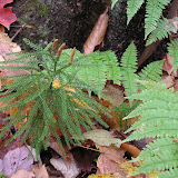 Club-moss (left) and wood fern (right)