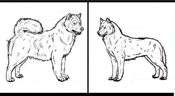 cách phân biệt chó Alaska và Husky
