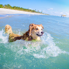 surfing by Meaghan Browning - Animals - Dogs Playing ( water, splash, ocean, beach, golden retriever )