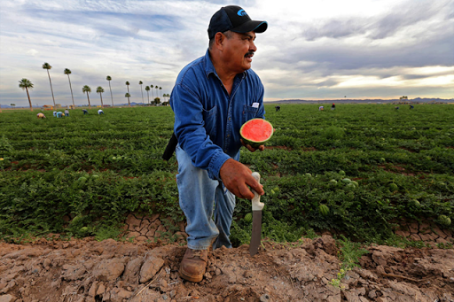 Filemon Aguilera, a foreman, monitors farmworkers picking watermelon along Highway 95, which cuts through Yuma. Photo: Irfan Khan / Los Angeles Times