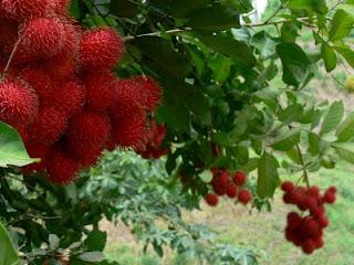 rambutan fruit tree