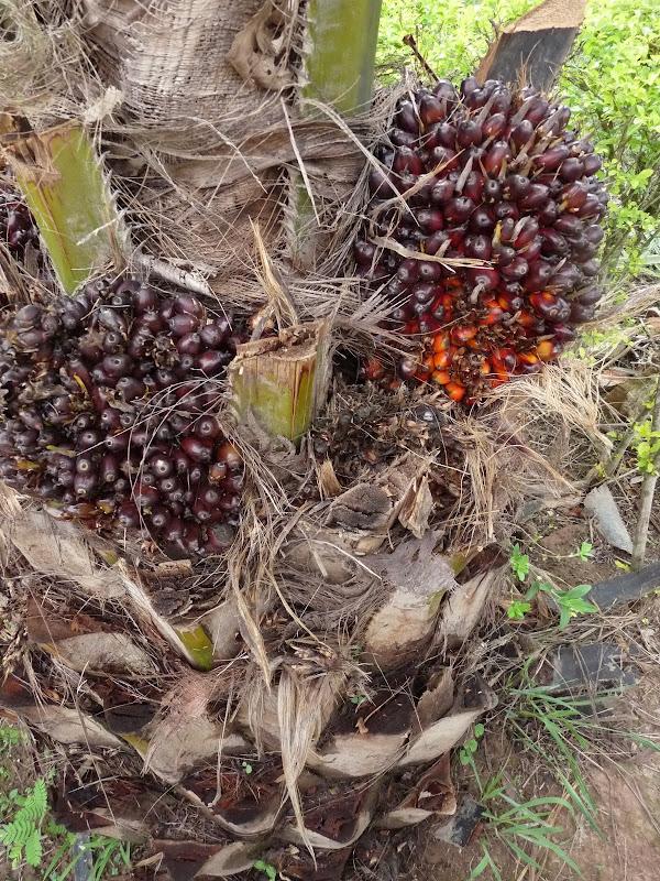 Palmier a huile
