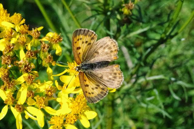 Heodes virgaureae virgaureae (L., 1758), femelle. Fau-de-Peyre, 1120 m (Lozère), 18 août 2014. Photo : J.-M. Gayman
