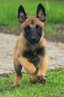 كلب مالينوا - المالينو كلب حراسه البوليسي الأول في العالم معلومات صور وفيديو