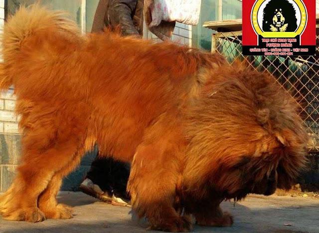 Giá chó Ngao Tây Tạng. Mua bán chó Ngao Tây Tạng ở Hà Nội và TPHCM