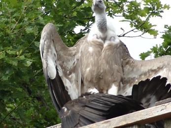 2018.08.25-035 condor