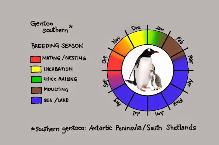 Breeding cycle of southern gentoos