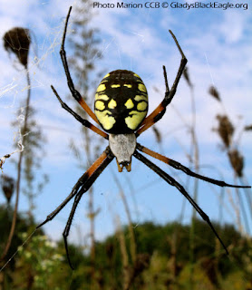 One of the most commonly found orb weaver is the yellow garden spider. Other names are writing spiders, black and yellow garden spiders, and corn spider.