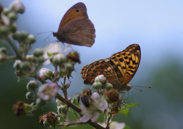 Argynnis paphia (L., 1758) et Maniola jurtina (L., 1758), femelles sur ronce. Chemin de La Rodé, 680 m, Cocurès (Lozère), 8 août 2013. Photo : J.-M. Gayman