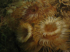 Fan worm: fan worms feeding in the current