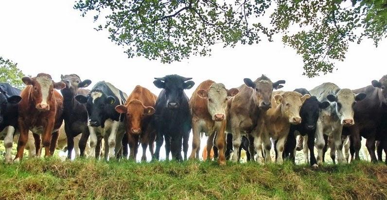 cows-curious.jpg