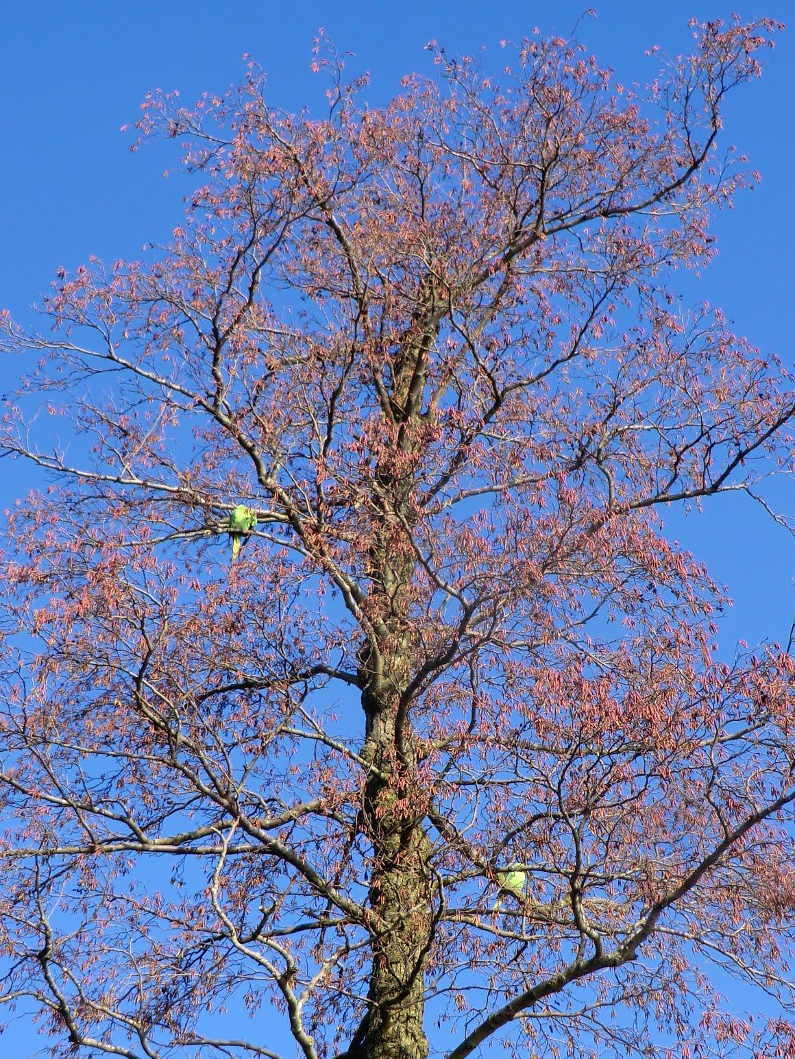 CIMG2328 Tree with parakeets, Richmond Park