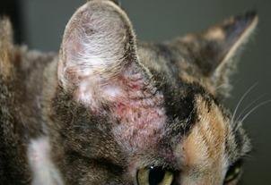 Ruolo dell'Alimentazione nel Monitoraggio del Gatto Allergico