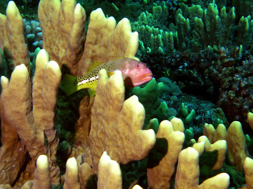 Tahiti-scuba-fish2.jpg - The coral reefs of Tahiti are teeming with fish of evey color.