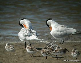 Photo: Royal Terns and Sanderlings, Bolivar Flats Shorebird Sanctuary, upper Texas Coast