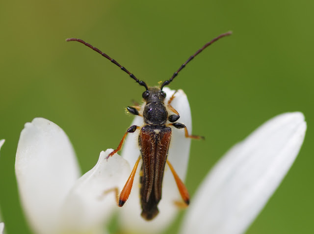 Cerambycidae : Cerambycinae : Stenopterus rufus (L., 1767). Les Hautes-Lisières (Rouvres, 28), 16 juin 2012. Photo : J.-M. Gayman