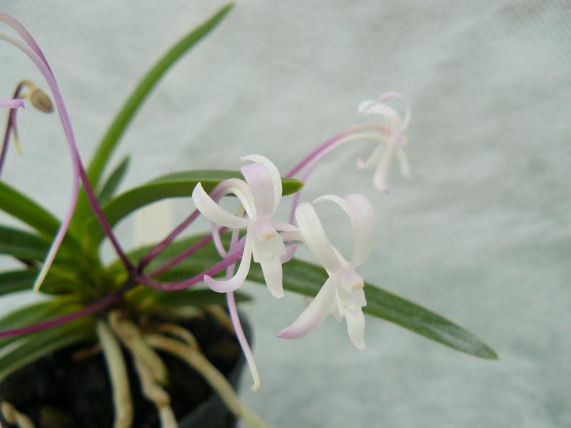 Neofinetia (Vanda) falcata Jucheonwang P1030428