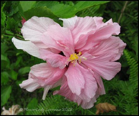 07-06-pink-hibiscus4