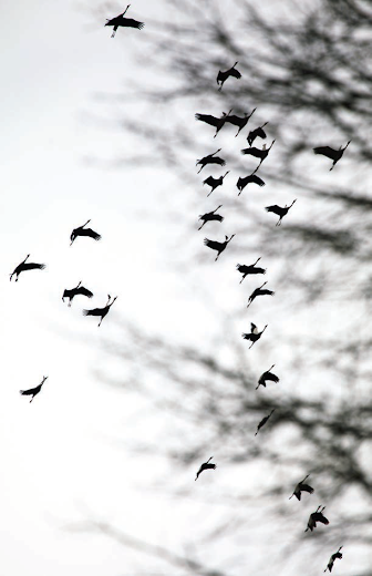 Vol de grues de passage à Cheverny