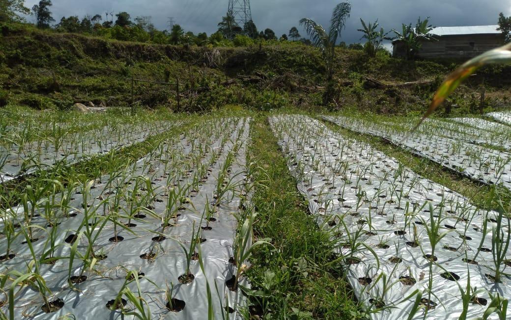 Semangat Para Petani dan Penyuluh Lakukan Tanam Bawang Putih Ditengah Pandemi  Covid-19
