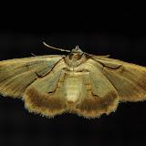 Geometridae : Larentiinae : Xanthorhoini : Xanthorhoe anaspila MEYRICK, 1891, verso. Umina Beach (New South Wales, Australie), 25 avril 2011. Photo : Barbara Kedzierski