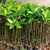 Jual Bibit Pohon Bakau Mangrove Siap Tanam Harga Murah