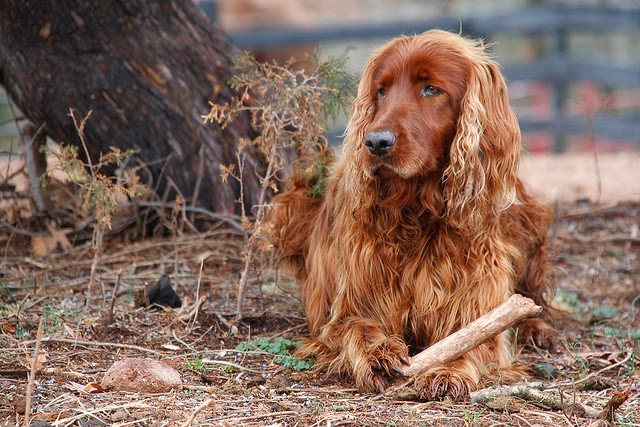 Irish Setter Dog Breed Top Ten Great With Kids
