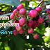 พิลังกาสา ราชาแห่งสมุนไพร ในตำรับยาไทย