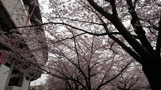 [写真]桜が満開