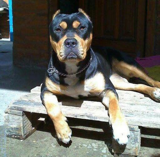 Chó Rottweiler lai Pitbull - Pitweiler