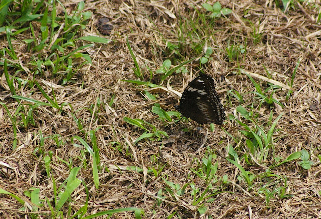 Hypolimnas bolina bolina LINNAEUS, 1758. Sukau (Sabah, Malaisie, Bornéo), 5 août 2011. Photo : J.-M. Gayman