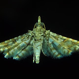 Tineodidae : Cenoloba obliteralis WALSINGHAM, 1864. Umina Beach (N. S. W., Australie), 14 novembre 2011. Photo : Barbara Kedzierski