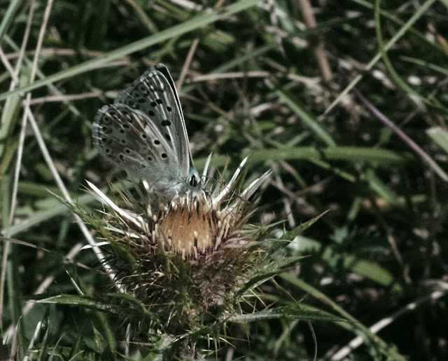 Polyommatus coridon coridon (PODA, 1761), mâle. Tras le Mont, 820 m, Cocurès (Lozère), 10 août 2013. Photo : J.-M. Gayman