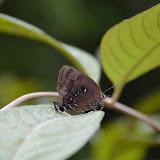 Thecla lisus STOLL, 1790, femelle (ou bien : T. phegeus ou T. viresco). (Guyane). Piste Coralie (Guyane). 26 novembre 2011. Photo : M. Belloin