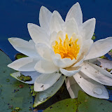 waterlilly_MG_7531-copy.jpg
