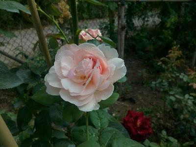 Hồng thiên Hương Heritage trong những ngày đầu nở hoa ở vườn