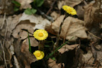 Coltsfoot blossoms.