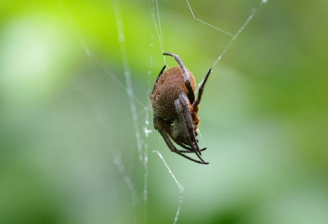 Araignée. Carbets de Coralie (Crique Yaoni), 2 novembre 2012. Photo : J.-M. Gayman