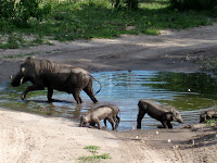 Warthog and piglets - Linyanti Concession (Chobe Region)