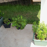 Gardening 2010, Part Three - 101_5146.JPG