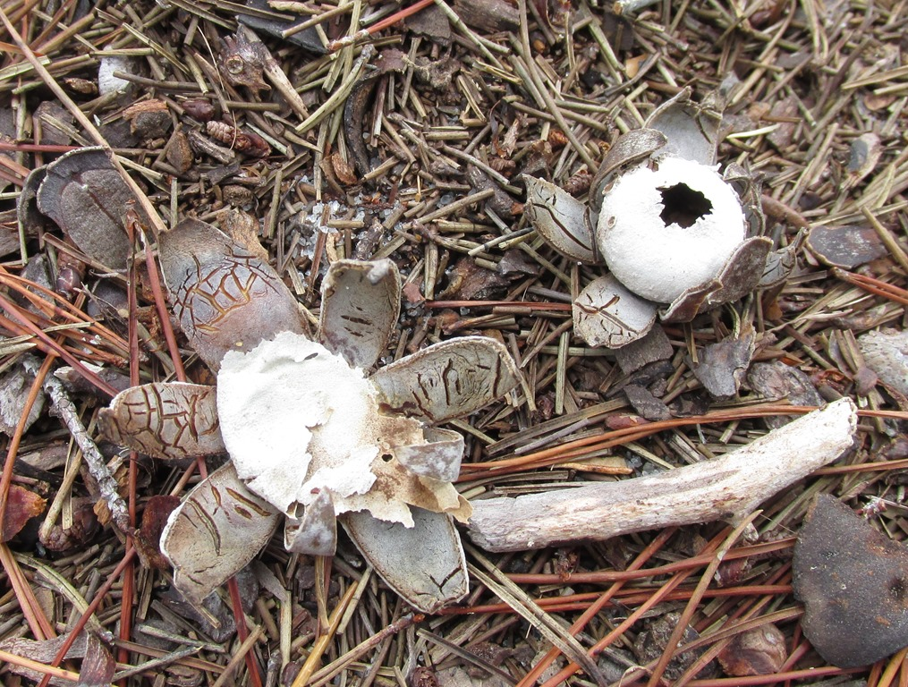 [Earth-Start-Mushroom-Fungi-25]