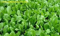 Spinach Plants in Garden Bed