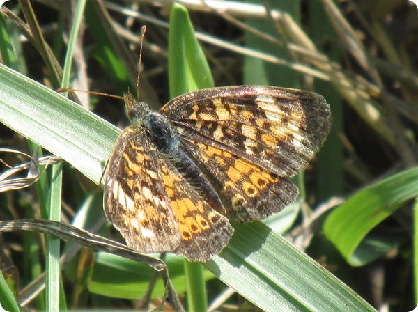 IMG_8117 Pearl Crescent Butterfly (4)