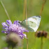 Pieris rapae (L., 1758), femelle. Les Hautes-Lisières (Rouvres, 28), 6 juillet 2012. Photo : J.-M. Gayman