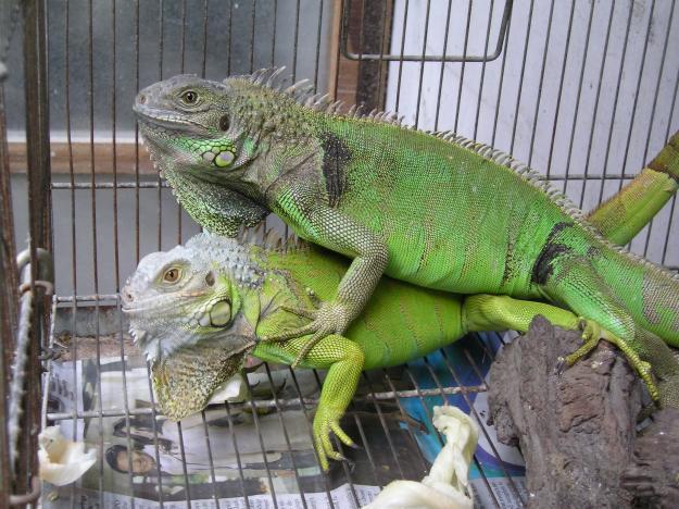 Iguanas Sex 88