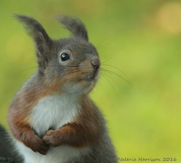 9-red-squirrel